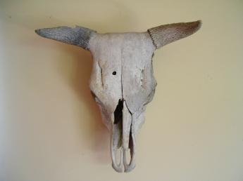 This is a picture of a typical bleached skull